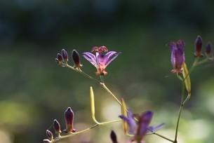 ホトトギスの花の写真素材 [FYI04951212]
