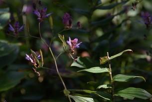 ホトトギスの花の写真素材 [FYI04951213]