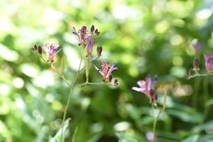 ホトトギスの花の写真素材 [FYI04951215]