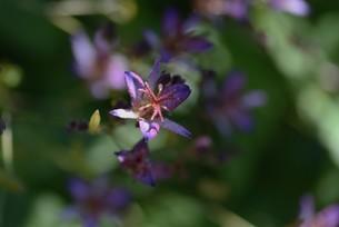 ホトトギスの花の写真素材 [FYI04951216]