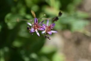 ホトトギスの花の写真素材 [FYI04951217]