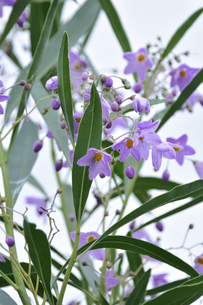 ルリヤナギ(ブラジル原産のナス科常緑低木)小さな紫色の花とつぼみと葉の写真素材 [FYI04951764]