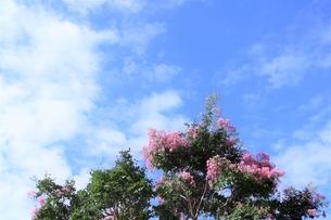 百日紅と空の爽景の写真素材 [FYI04952342]