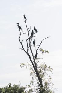 木にとまるたくさんのカワウの写真素材 [FYI04952851]