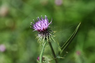 ノアザミの花と綿毛の写真素材 [FYI04952863]