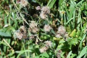 ノアザミの花と綿毛の写真素材 [FYI04952864]