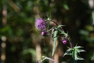 ノアザミの花と綿毛の写真素材 [FYI04952865]
