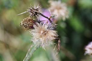 ノアザミの花と綿毛の写真素材 [FYI04952866]