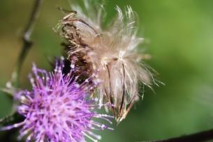 ノアザミの花と綿毛の写真素材 [FYI04952867]