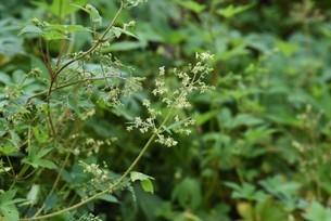 カナムグラの花・秋の花粉症の原因。の写真素材 [FYI04952883]