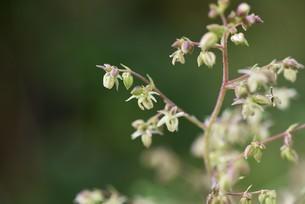 カナムグラの花・秋の花粉症の原因。の写真素材 [FYI04952886]