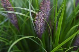 チカラシバの花穂の写真素材 [FYI04953028]