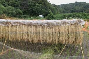 コメ栽培・収穫の写真素材 [FYI04953132]