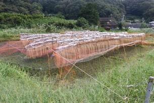 コメ栽培・収穫の写真素材 [FYI04953133]