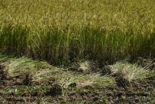 コメ栽培・収穫の写真素材 [FYI04953136]