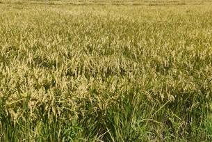 コメ栽培・収穫の写真素材 [FYI04953137]