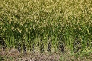コメ栽培・収穫の写真素材 [FYI04953138]