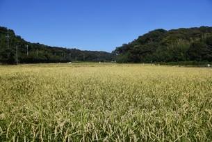 コメ栽培・収穫の写真素材 [FYI04953140]