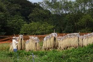 コメ栽培・収穫の写真素材 [FYI04953188]