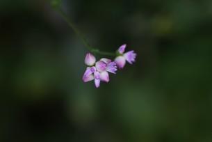 ママコノシリヌグイの写真素材 [FYI04953202]