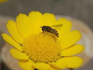 雛菊と雌の蝦夷小扁虻 フタホシヒラタアブ  Daisies and Eupeodesの写真素材 [FYI04953314]