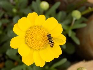 雛菊と雌の蝦夷小扁虻 フタホシヒラタアブ  Daisies and Eupeodesの写真素材 [FYI04953315]