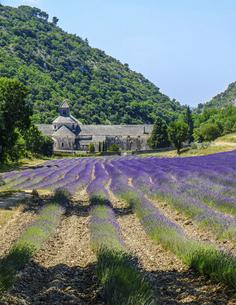 南フランス、プロヴァンス地方、ラベンダー畑の中に佇む修道院の写真素材 [FYI04953333]