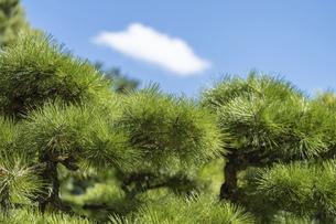 【植物】日本庭園の松の木の写真素材 [FYI04953437]