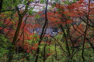 紅葉 晩秋の枡形山登山道(神奈川県川崎市)の写真素材 [FYI04953444]