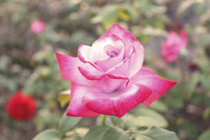 ピンク色のバラの写真素材 [FYI04953913]