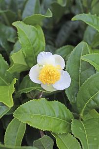 日本茶の花 茶花の写真素材 [FYI04953918]