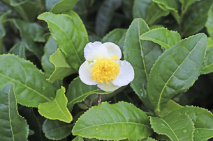 日本茶の花 茶花の写真素材 [FYI04953919]