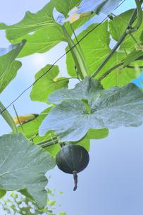 吊るし栽培して実ったカボチャとカボチャの黄色い色の花と葉と青空と白い雲の写真素材 [FYI04953977]