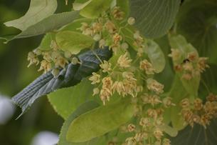 オオバボダイジュの花の写真素材 [FYI04954141]