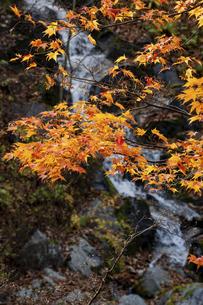 色づいたモミジと滝の写真素材 [FYI04954167]
