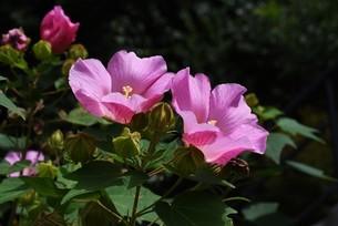 芙蓉の花の写真素材 [FYI04954184]