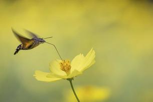 黄色いコスモスの蜜を吸うホウジャクの写真素材 [FYI04954196]