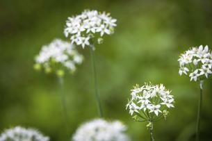屋外で撮影したニラの花の写真素材 [FYI04954197]