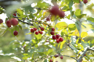 姫りんごの写真素材 [FYI04954216]