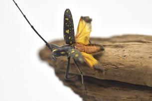 飛び立つキホシカミキリムシの写真素材 [FYI04954459]
