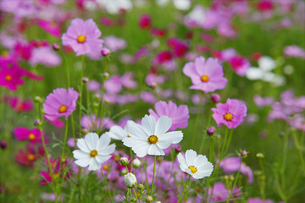 お花畑の白いコスモスの写真素材 [FYI04954479]