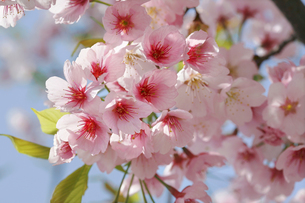 満開の河津桜の写真素材 [FYI04954484]