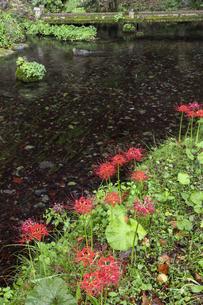 ヒガンバナ咲く醒井地蔵川の写真素材 [FYI04954571]