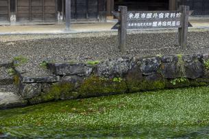 醒井地蔵川のバイカモの写真素材 [FYI04954573]