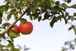 真っ赤なリンゴの写真素材 [FYI04954639]
