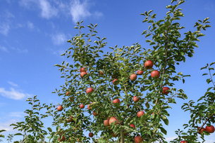 真っ赤なリンゴの写真素材 [FYI04954641]