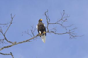 枝に止まるオオワシの成鳥(北海道・知床)の写真素材 [FYI04955081]