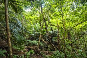 西表島の熱帯雨林(ジャングル)とシダ植物の写真素材 [FYI04955301]