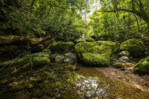 西表島の熱帯雨林(ジャングル)と苔と川の写真素材 [FYI04955308]