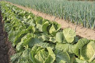 畑の白菜の写真素材 [FYI04955407]